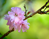 Plum tree flowers.  Image taken with a Fuji X-H1 camera and 200 mm f/2 lens + 1.4x teleconverter (ISO 200, 280 mm, f/5, 1/480 sec)