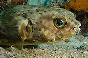 Balloonfish (Diodon holocanthus)<br /> BONAIRE, Netherlands Antilles, Caribbean<br /> HABITAT & DISTRIBUTION: Grassy areas, mangroves and reefs.<br /> Florida, Bahamas, Caribbean, Gulf of Mexico, Bermuda north to Massachusetts and south to Brazil.