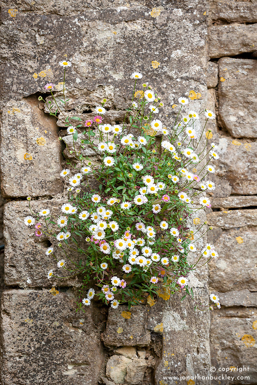 Erigeron karvinskianus syn. mucronatus growing in cracks in a dry stone wall. Mexican daisy