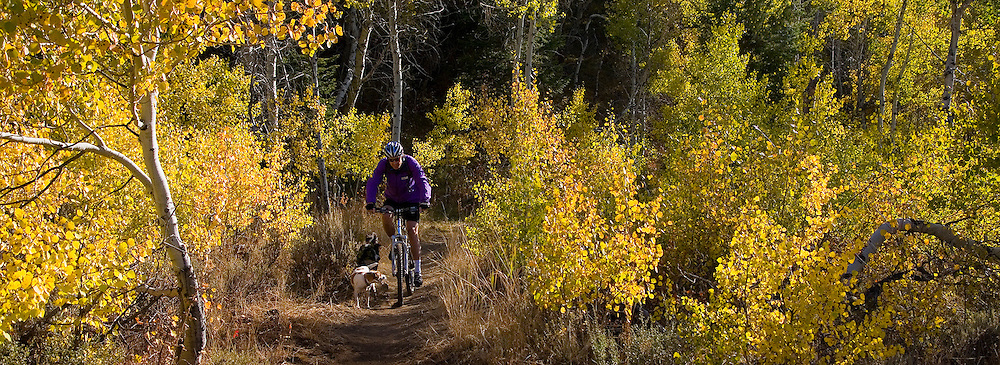Pierre takes his dogs for a spin on his mountain bike  in the Autumn  Foliage in Greenhorn Gulch near Sun Valley Idaho. MR