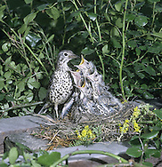 Mistle Thrush Turdus viscivorus L 27cm. Appreciably larger than Song Thrush. Unobtrusive but has distinctive call and song. Sexes are similar. Adult has grey-brown upperparts with hint of white wingbar. Underparts are pale with large dark spots and flanks are washed orange-buff. In flight, note white underwings and white tips to outer tail feathers. Juvenile is similar but back has white, teardrop-shaped spots. Voice Utters a loud, rattling alarm call. Song contains brief phrases and long pauses; often sung in dull weather. Status Fairly common resident of open woodland, parks and mature gardens.