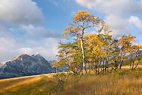 Aspens in autumn foliage near Two Dog Flats, Glacier National Park Montana USA