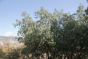 Palestine Oak (Quercus calliprinos) at the  Hermon Stream Nature reserve (Banias) Golan Heights Israel