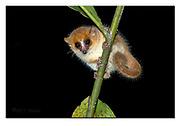 Goodman's mouse lemur from Andasibe NP, Madagascar. Nikon D850, 70-200mm @ 200mm, f11, 1/200 sec, ISO800, SB900 fill-in flash, manual.