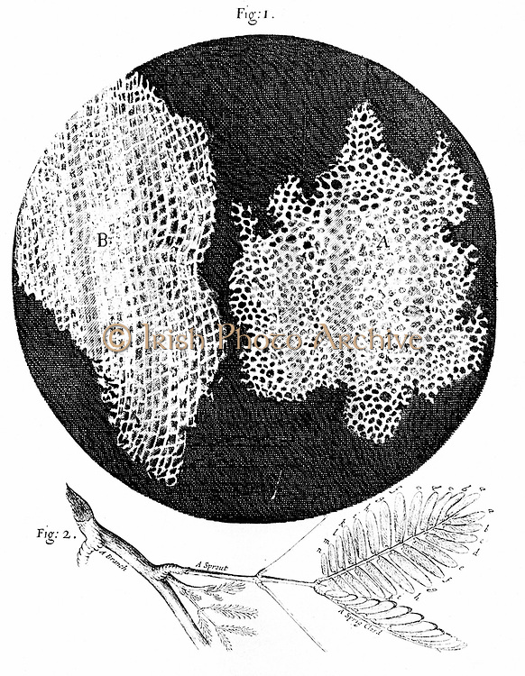 Hooke's observations of cellular structure of cork (fig 1) and sprig of Sensible (Sensitive) plant (fig 2). First use of word cell to name honeycomb nature of cork.  From Robert Hooke 'Micrographia' London 1665. Engraving.