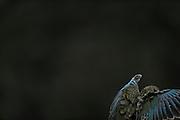 Kea (Nestor notabilis) Arthur's Pass, New Zealand | Kea oder Bergpapagei (Nestor notabilis); Keas sind der Papageienfamilie der Strigopidae zugeordnet, einer alten Gruppe, die sich stammesgeschichtlich von den anderen Papageien abgespalten hat, bevor bei Letzteren eine Radiation in viele weitere Arten stattfand. Arthur's Pass, Neuseeländische Alpen, Neuseeland.