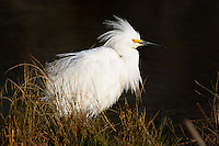 Snowy egret, Egretta thula,Chincoteague National Wildlife Refuge, Virginia, USA