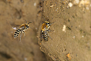 Mining Bee - Colletes succinctus