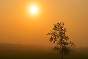 Morning fog and deciduous tree<br /> Warren<br /> Manitoba<br /> Canada