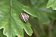 Brown-lipped Snail - Cepaea nemoralis