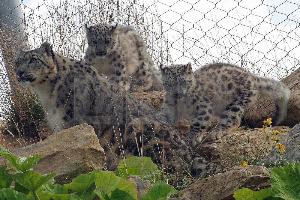 EMBARGO 14.08.2013 at 00.01GMT © Licensed to London News Pictures. 12/08/2013. UK Twycross Zoo is celebrating the birth of two snow leopard cubs. The cubs go on display tomorrow (14th August 2013) at the Zoo's  Himalaya Centre which is free all year round. Photo credit : Gillian Day LRPS/LNP