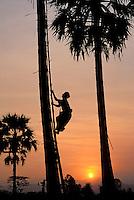 Myanmar (ex Birmanie), Etat d'Ayeyarwaddy, Récolte du vin de palme  // Myanmar (Burma), Ayeyarwaddy state, Palm wine collecting
