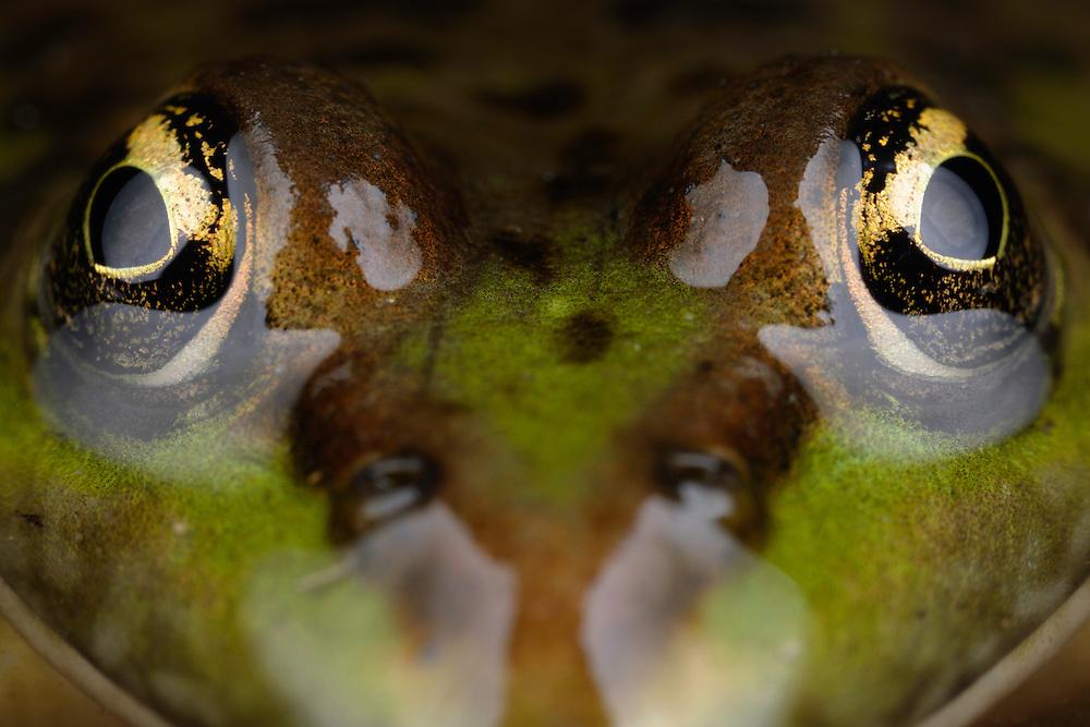 Marsh Frog, Pelophylax ridibundus (formely Rana ridibunda). Stenje region, Lake Macro Prespa (850m) <br /> Galicica National Park, Macedonia, June 2009<br /> Mission: Macedonia, Lake Macro Prespa /  Lake Ohrid, Transnational Park<br /> David Maitland / Wild Wonders of Europe