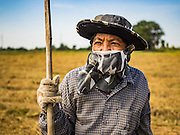 "23 NOVEMBER 2016 - AYUTTHAYA, THAILAND: A worker in a field during the rice harvest in Ayutthaya province, north of Bangkok. This rice plants in the field were flattened by a wind storm and the worker was trying to salvage some of the rice. Rice prices in Thailand hit a 13-month low early this month. The low prices are hurting farmers. Rice exports account for around 10 percent of Thailand's gross domestic product, and low prices frequently lead to discontent in the rural areas of Thailand. The military government has responded by sending soldiers to rice mills, to ""encourage"" mill owners to pay farmers higher prices. The Thai army and navy are also buying for their kitchens directly from farmers in an effort to get more money into farmers' hands.  PHOTO BY JACK KURTZ"