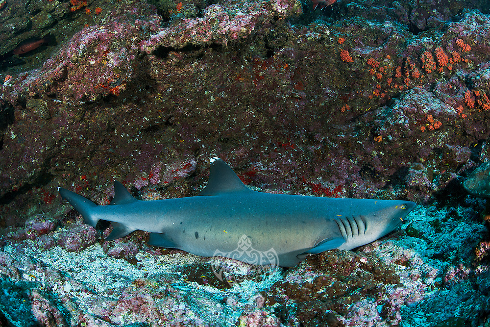 A very pregnant White Tip Reef Shark rests on a rocky reef slope.<br /> <br /> <br /> Shot at Cocos Island, Costa Rica