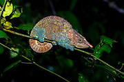 Cryptic or blue-legged chameleon (Calumma crypticum, male) from Ranomafana NP, eastern Madagascar.