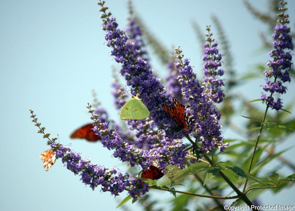Butterfly Bush with Gulf Fritillary and Cloudless Giant Sulfur butterflies