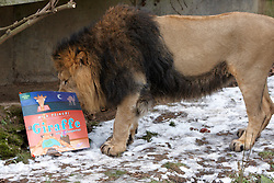 "© Licensed to London News Pictures.  09/02/2012. LONDON, UK. A lion at ZSL London Zoo in Regents Park ""reads"" a book. The series of books, written by award winning authors with the help of keepers, are being launched today and form part of the Stories from the Zoo week which begins on Saturday (11 Feb). Photo credit :  Cliff Hide/LNP"