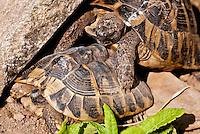 Switzerland. Springtime. Tortoise love.