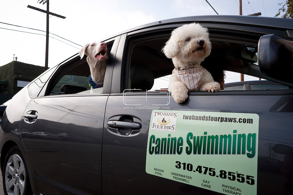 September 28th, 2011. Los Angeles, California. Canine rehab facility Two Hands Four Paws offers treatments like acupuncture, massage, and swim therapy for dogs. Pictured is Lou the Bichon in the company car..PHOTO © JOHN CHAPPLE / www.johnchapple.com