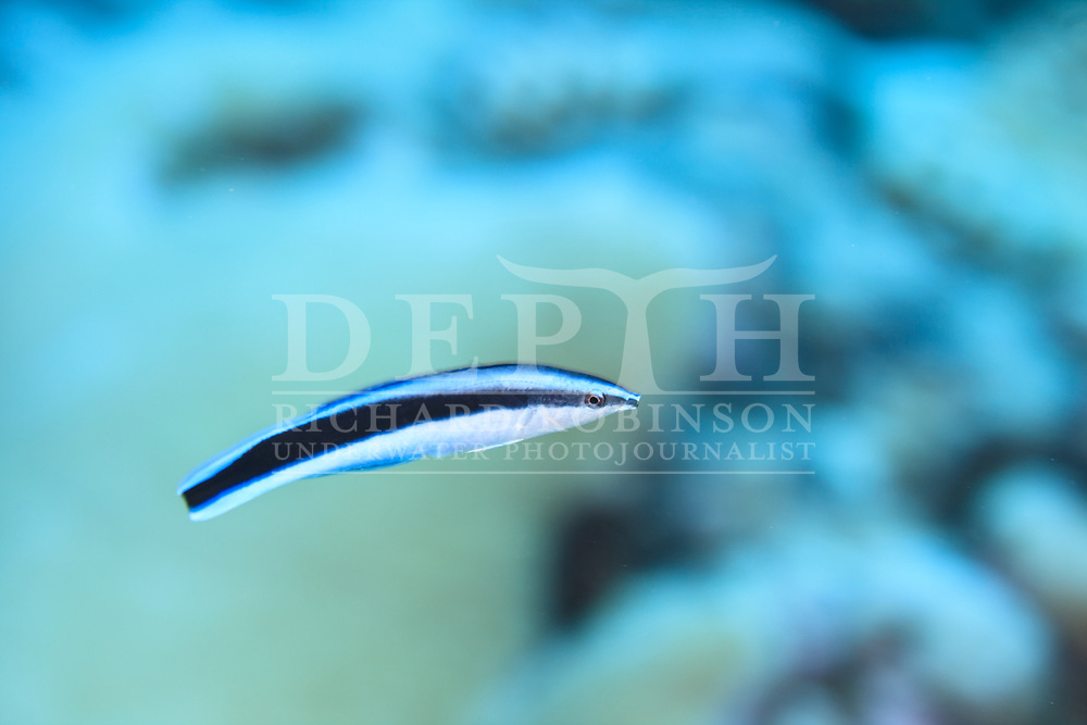 Labroides dimidiatus (Striped Cleaner Wrasse) also known as the Bluestreak cleaner wrasseat Palmerston Atoll in the Cook Islands.<br /> Saturday 03 January 2015<br /> Photograph Richard Robinson &copy; 2015