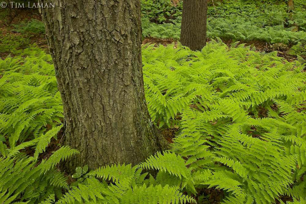 """Spring Ferns"".Fresh spring growth of ferns cover the ground in the forest by Walden Pond.  Spring views of Walden Pond"