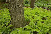 """""""Spring Ferns"""".Fresh spring growth of ferns cover the ground in the forest by Walden Pond.  Spring views of Walden Pond"""