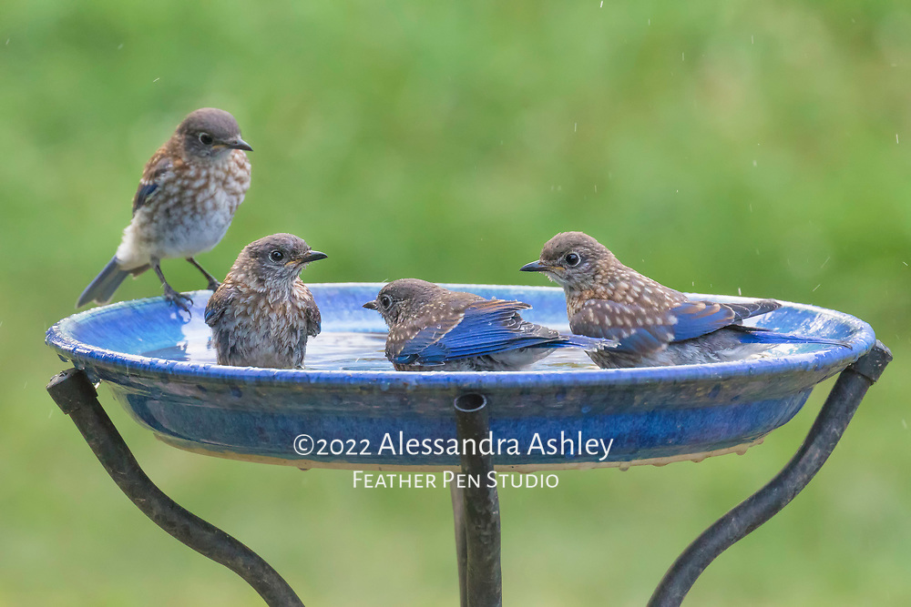 Four young bluebirds taking their late evening bath. Their parents supervised from a nearby perch.