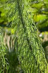 The foliage of Helianthus salicifolius