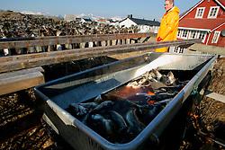 NORWAY LOFOTEN 27MAR07 - Migrant worker Leon Wechgelaer of the Netherlands hangs cod on racks to dry in Henningsvaer on the Lofoten islands...jre/Photo by Jiri Rezac..© Jiri Rezac 2007..Contact: +44 (0) 7050 110 417.Mobile:  +44 (0) 7801 337 683.Office:  +44 (0) 20 8968 9635..Email:   jiri@jirirezac.com.Web:    www.jirirezac.com..© All images Jiri Rezac 2007 - All rights reserved.