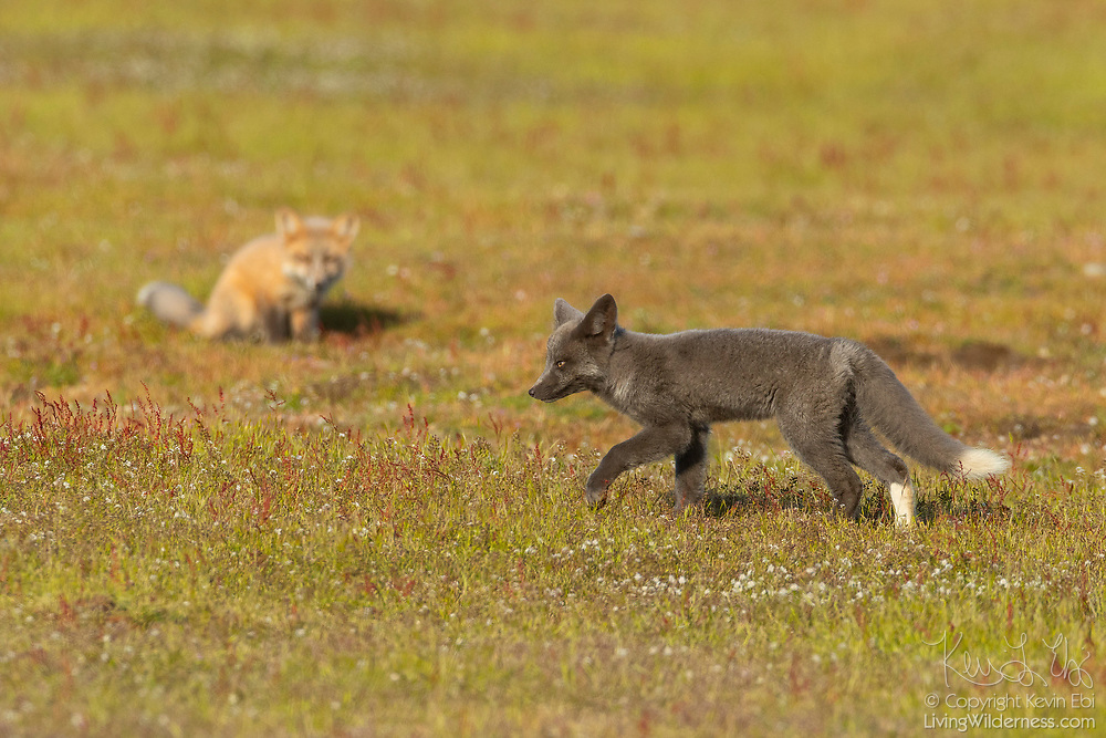 A red fox (Vulpes vulpes) kit runs across the prairie at San Juan Island National Historical Park on San Juan Island, Washington, as one of its siblings prepares to pounce. Red foxes were introduced to the island on various occasions in the 1900s. All of the foxes on the island are red foxes, even though they may appear black, silver or tan.