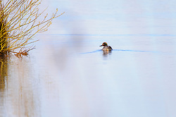 Wintertaling, Anas crecca