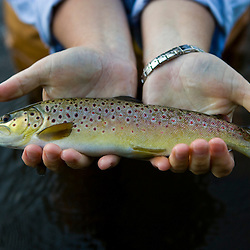 A woman catches a brown trout in the Connecticut River in Clarksville, New Hampshire.