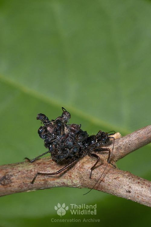 Acanthaspis petax, a member of the Reduviidae family. This assassin bug is known for the stacking of dead ants on it back in order to protect itself from being attacked by jumping spiders (Salticidae).