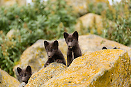 Arctic Fox (Alopex lagopus) pups check out visitors to their denning area on St. Paul Island in Southwest Alaska. Summer. Afternoon.