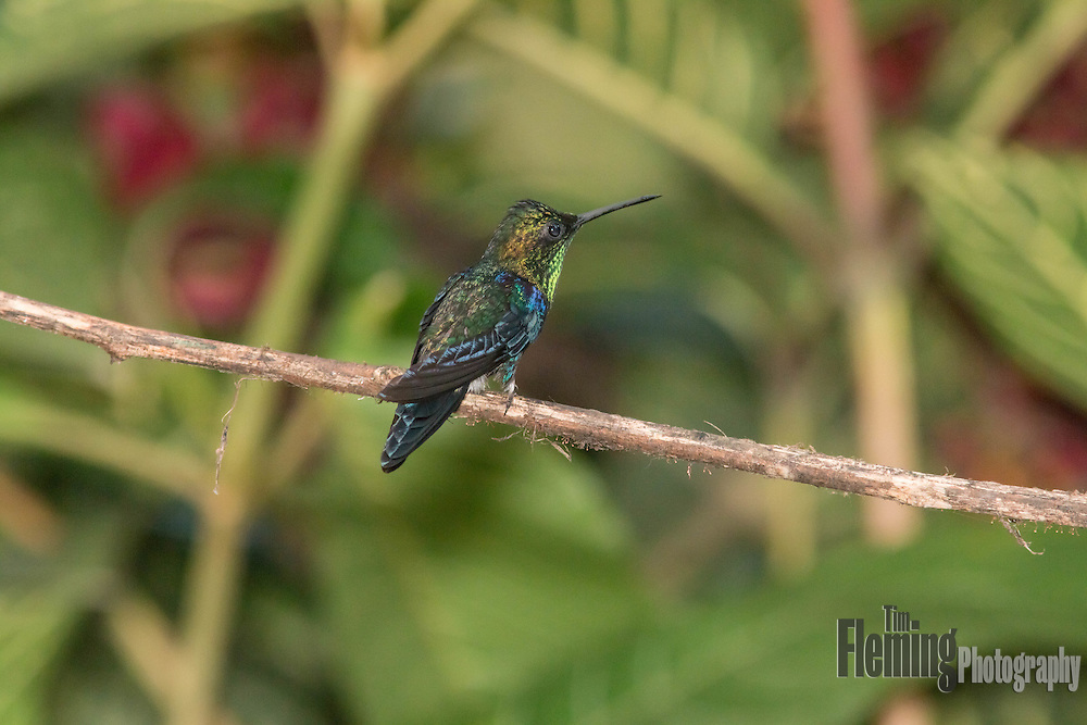 Green-crowned woodnymph in the rainforest near Milpe, Ecuador