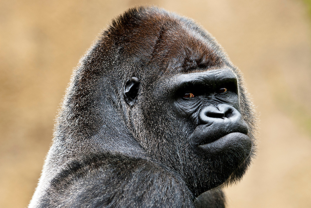 Goma, a captive nineteen-year-old male Western Lowland Gorilla, gorilla gorilla gorilla, chills out at the Santa Barbara Zoo on Wednesday, September 8, 2010.  Goma was born at the Buffalo Zoo in New York and now shares space in Santa Barbara with Kivu, another male Gorilla.  This troop is one of the only bachelor groups at a zoo in the US.  (Photo by Aaron Schmidt/Brooks Institute © 2010)