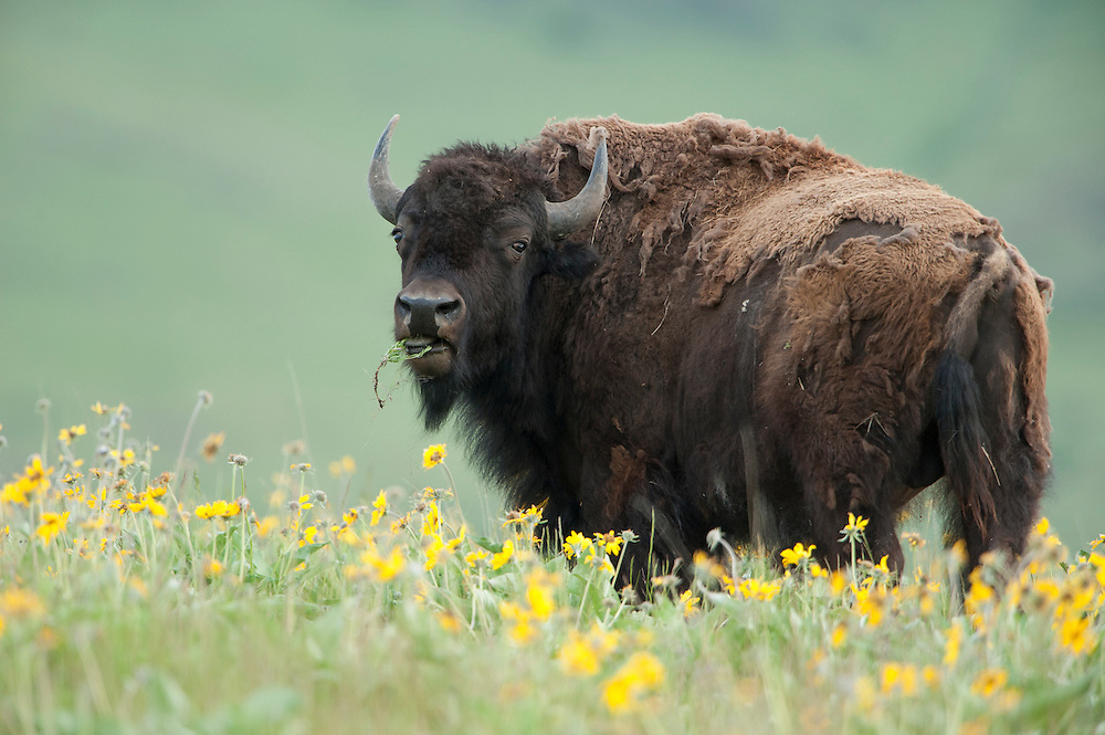 A bull bison feeding on Spring wildflowers, National Bison Range, Montana