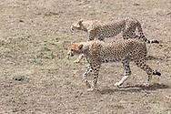 Cheetahs in East African habitat