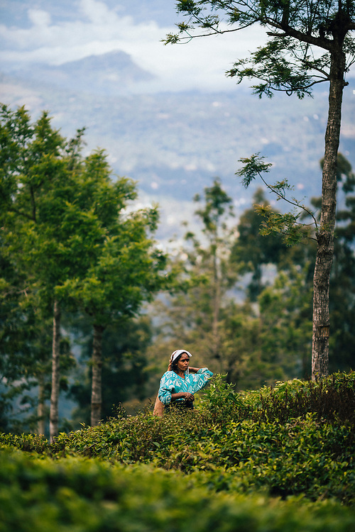 Ella, Sri Lanka -- February 3, 2018: Women pick leaves at a tea plantation in the hills of central Sri Lanka.
