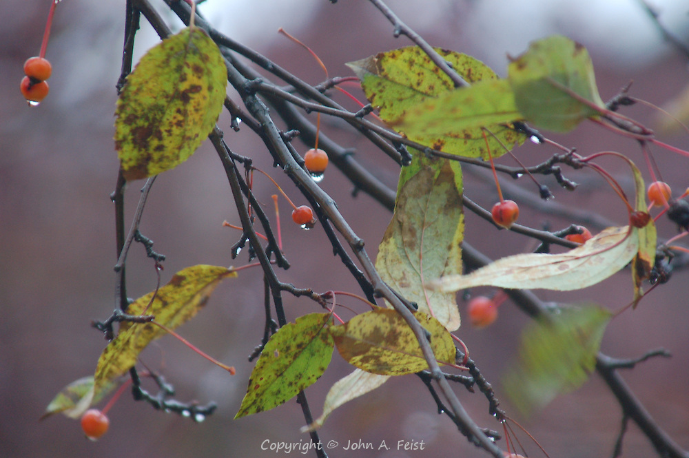 The last few berries on this tree during a late fall rain.  Hillsborough, NJ