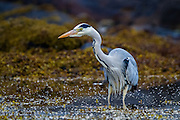 Grey Heron searching for food | Gråhegre leter etter mat