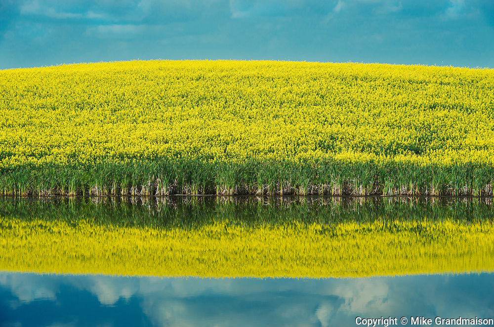 Canola crop reflected in prairie slough<br /> Wynyard<br /> Saskatchewan<br /> Canada