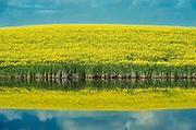Canola crop reflected in prairie slough<br /> Wynyard<br /> Saskatchewan<br /> Canada