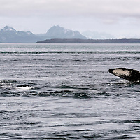 Pair of humpback whales swimming in Icy Strait, off Glacier Bay National Park, Alaska