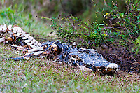 US, Florida, Everglades, Shark Valley. Alligator carcass.