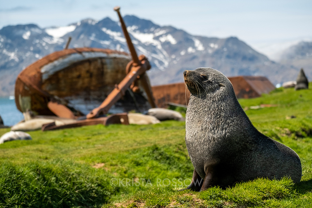 An Antarctic fur seal rests in the grass in front of ruins from the old whaling station at Grytviken on the north coast of South Georgia Island.