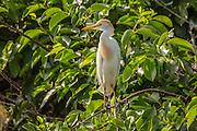 A cattle egret (Bubulcus ibis) in breeding plumage at Wakodahatchee wetlands, Florida.