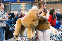 © Licensed to London News Pictures. 10/03/2016. A Japanese dog owner grooms their Toy Poodles in the dog benches area before a judging competition. Crufts celebrates its 12th anniversary as the Worlds largest dog show. Birmingham, UK. Photo credit: Ray Tang/LNP