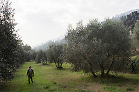 CALENZANO, ITALY - 24 NOVEMBER 2014: Olive oil producer Federico Dufour walks by olive trees infected by the Bactrocera oleae, an olive fruit fly that this year ravaged his crop, in Calenzano, 20 kilometers north of Florence, Italy, on November 24th 2014.<br /> <br /> The olive harvest was practically non-existent this fall in Calenzano because of the Bactrocera oleae, an olive fruit fly that this year ravaged entire olive crops. Italy's Institute of Services for Agriculture and Food Market, or ISMEA, calculated that olive oil production fell on average by 35 percent from 302,000 tons from 463,000 the previous year.